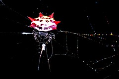 Not the Great Pumpkin (donjuanmon) Tags: red black macro closeup night spider colorful web orb led flashlight weaver spiny donjuanmon
