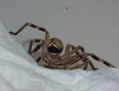 Sparassidae>Neosparassus calligaster Shield Huntsman spider DSCF5552 (Bill & Mark Bell) Tags: exmouth westernaustralia australia geo:town=exmouth geo:state=westernaustralia geo:country=australia geo:lon=11425453egeolat2217752sgeoalt8m 11425453e2217752salt8m taxonomy:kingdom=animalia animalia taxonomy:phylum=arthropoda arthropoda taxonomy:class=arachnida arachnida taxonomy:order=araneae araneae taxonomy:superfamily=sparassoidea sparassoidea taxonomy:family=sparassidae sparassidae taxonomy:genus=neosparassus neosparassus calligaster taxonomybinomialnameneosparassuscalligaster neosparassuscalligaster taxonomycommonnameshieldhuntsmanspider shieldhuntsmanspider spider