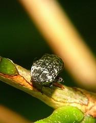 Murraya Jewel Beetle a Buprestidae possibly Ethonion sp Mackay P1140143 (Steve & Alison1) Tags: beetle sp mackay jewel possibly murraya buprestidae ethonion