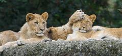 Lion cubs doing nonsense