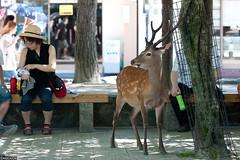 Deer in Miyajima (ngc4226) Tags: japan hiroshima deer       itsukushimashintoshrine   ngc4226 itsukushimajinza