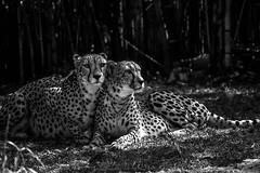 Cheetahs (Black & White) (awdylanis) Tags: two blackandwhite gardens cat tampa feline florida pair bigcat cheetah fl february feb buschgardens cheetahs busch 2015 acinonyxjubatus acinonyx cheetahrun cheetahhunt