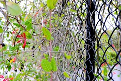 Cover up (donjuanmon) Tags: flowers red black green yellow wire vine chainlink hff fencedfridays donjuanmon