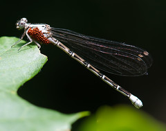 Damselfly with mites. (Karen McQuilkin) Tags: summer macro nature archives karenmcquilkin damselfywitheggs