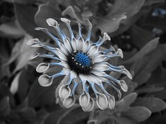 Blue filter- african daisy (Toni O'Connor2010) Tags: blue flower colour african filter daisy selective