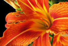 Day Lily Closeup (Puzzler4879) Tags: flowers orange ngc lilies daylily pointandshoot nybg daylilies canonpowershot hemerocallis newyorkbotanicalgarden orangeflowers canonaseries canonphotography canonpointandshoot a580 canona580 canonpowershota580 powershota580