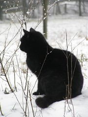 King (horses merci) Tags: winter snow black cold cat weeds farm icicles
