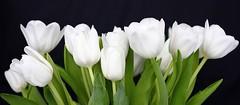 White tulips (Explore 2015-03-02) (nillamaria) Tags: flowers spring tulips tulip blommor vår tulpan tulpaner