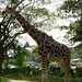"""giraffe • <a style=""""font-size:0.8em;"""" href=""""http://www.flickr.com/photos/128593753@N06/16535937912/"""" target=""""_blank"""">View on Flickr</a>"""