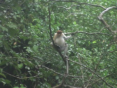 Gibbon In The Forest Near Sukau