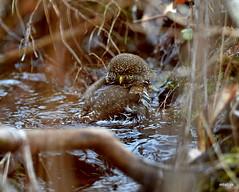 Northern Pygmy Owl bathing (miketabak) Tags: 20150226icelandgullandbathingpygmyowl