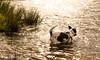 Nibbler taking a dip at Dinton Pastures (Mr Whites Paw Prints) Tags: dog jackrussell nibbler dintonpastures