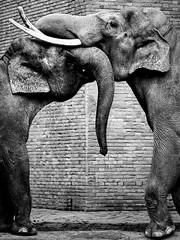 Passionate.kiss@Berlin.zoologischer.garten.de (Tilemachos Papadopoulos) Tags: bw elephant berlin zoo mono kiss zoologischer qoq m43 mft mirrorless