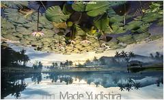 Magic Lotus Pond (Bali Freelance Photographer) Tags: life people bali nature beauty canon indonesia eos photo foto stock culture daily cultural alam budaya balinese culturalevent myudistira madeyudistira myudistiraphotography
