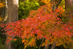 大原三千院の紅葉 / Autumn Leaves at Ohara Sanzen-in (kimtetsu) Tags: autumn tree fall japan temple kyoto autumnleaves 京都 日本 ohara 紅葉 秋 木 寺 京都市 京都府 大原