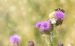 (s.lang534) Tags: lumix licht bokeh outdoor sommer natur panasonic gelb gras makro sommerwiese nahaufnahmen naturewatcher lumixgx7