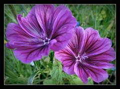in der Blumenwiese (karin_b1966) Tags: plant flower nature garden blossom natur pflanze blume blte garten 2016 malve yourbestoftoday