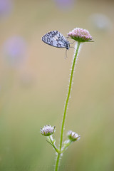 Melanargia galathea (Yvan Barbier) Tags: lepidoptera insectes papillons insecta satyridae melanargiagalathea demideuil lpidoptres rhopalocera rhopalocres melanargiasp