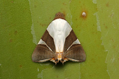 Eulepidotis sp. - Costa Rica (Nick Dean1) Tags: eulepidotis noctuidae moth lepidoptera animalia arthropoda arthropod hexapoda hexapod insect insecta costarica guanacaste