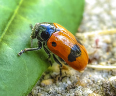mein Blatt (nicoheinrich86) Tags: leaf blatt grn green germany kfer klein bug beetle red rot beine natur nature sony 2016 hx400v outdoor punkte insect insekt macro closeup close colorful colors