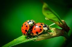 Marienkfer(Ladybirds) (kstenjung) Tags: nikon makro ladybirds garten rostock marienkfer botanischer sigma105mm makrofotografie d5100