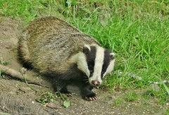 mr badger (Suzie Noble) Tags: garden mammal badger mustelid strathglass struy