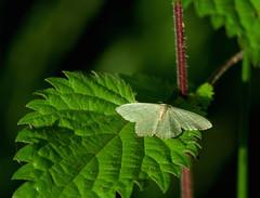 Emerald moth (yvonnepay615) Tags: nature insect lumix moth panasonic emeraldmoth gh4