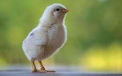 chick (28) (Vlado Ferenčić) Tags: chicken birds animals croatia chick animalplanet hrvatska hrvatskozagorje tamron9028 zagorje nikond600 klenovnik
