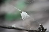 white fuzz (jimmysquarefoot) Tags: nature spidersilk