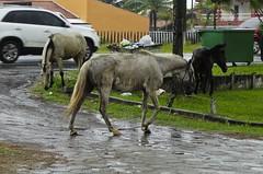Confuso 03 (Parchen) Tags: foto chuva estrada caos cavalos rua fotografia animais cavalo trnsito imagem confuso baguna molhado chuvoso registro veculo chuvarada parchen carlosparchen animaissoltosnarua