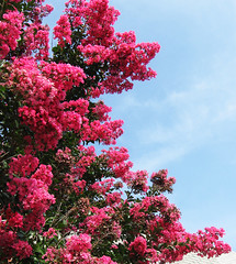 Crape Myrtle by My lovely Wife (Puzzler4879) Tags: flowers trees crapemyrtle a580 canona580 powershota580 powershot canonpowershota580 canonaseries canon canonphotography canonpointandshoot pointandshoot