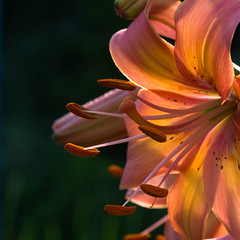 Lily (Bud in Wells, Maine) Tags: morning flowers light summer macro lily antique maine wells stunning thefarm unn