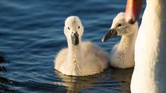 ~ swan baby  ~ (SteffPicture) Tags: baby lake bird see swan outdoor zurich tier vogel wasservogel seezrich steffpicture