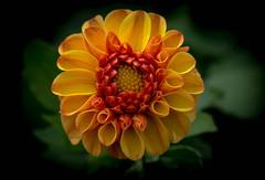 Summer Joy!! (Good Nature One) Tags: orange flower macro green nature yellow bloom summerjoy