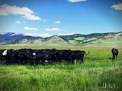 2016-07-18_10-51-00_20160718225950705 (IMHPhotos) Tags: cows herd oddmanout
