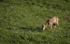 Grazing in the meadow (MrBlackSun) Tags: morning france sunrise early nikon deer parc roe roedeer auvergne forez naturel parcnaturel d810 livradois nikond810 livradoisforez parcnaturelregionallivradoisforez