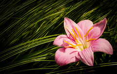 Zephyranthes carinata (Waldemar Wiera) Tags: blume flower kwiat botanik heidelberg