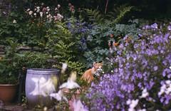 Rufus peeping thru the summer flowers..... (skipscales) Tags: summer english garden flowers fluffy ginger cat rufus june kendal england