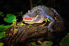 Mildred the Alligator - Watching the River (QuakerVille) Tags: alligator stjohns river famale waterway hontoonisland boating composit art dap mediachance jonmarkdavey deltona fl usa
