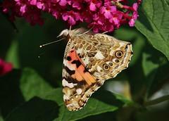 upside down (Hugo von Schreck) Tags: hugovonschreck butterfly schmetterling falter macro makro insect insekt distelfalter vanessacardui canoneos5dsr tamron28300mmf3563divcpzda010 onlythebestofnature