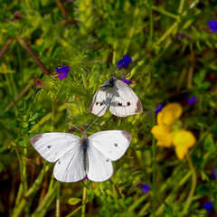 Balzflug kleiner Kohlweiling (novofotoo) Tags: balz flug insekten kleinerkohlweisling lebensweise natur pieridae pierisrapae schmetterling tiere weislinge