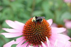 Bumblebee (Steve W Lee) Tags: bee bumblebee workerbee busybee closeupbee beemacro