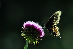 Black Swallowtail (Wild Bird Company) Tags: blackswallowtail papiliopolyxenes butterfly colorado boulder wildbirdboulder wildbirdcolorado wildbirdcompany formerwildbirdcenter birdseed birdwalk meyersgulch walkerranchopenspace bouldercountyparksandopenspace jackklase