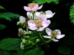 Bramble blossom (David_Rudeforth) Tags: wild bramble blackberry bush flower pink stamens anthers fruit berries thorns
