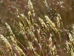 The long Grass (DannyRed55) Tags: grass heath meadow field albury surrey
