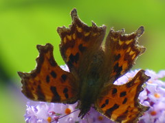 x P2530130c VERY 'Weather'-Beaten COMMA . . ! !! ! (Erniebobble::) Tags: erniebobble 2016 nature newforest wildlifegarden wildlife butterfly wings lepidotera bct colours edge education study portrait textural shape summer suspended feeding green environment ecosystem biodiversity balance harmonious peaceful gentle restful tranquil transient fleeting metamorphosis climate endangered pollination nectar secretworld painting pattern surface art above weather ephemeral biomarkers changing chrispackham garden transition