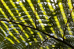 Fern (will668) Tags: fern stripes leaves leaf dappled shade sunlight green worldphotoday worldphotoday2016