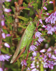 Long-winged Conehead (Prank F) Tags: rspb thelodge sandy bedfordshireuk wildlife nature insect macro closeup conehead cricket longwinged