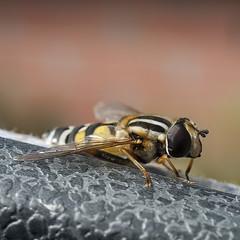Helophilus trivittatus (Ouwesok) Tags: olympuse330 zuiko3535mm helophilustrivittatus citroenpendelzweefvlieg zweefvlieg insect