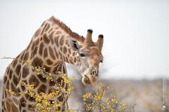 DSC_3842.JPG (manuel.schellenberg) Tags: namibia animal etosha nationalpark giraffe